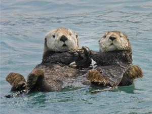 Two sea otters holding hands