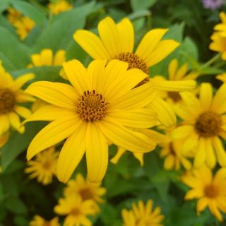 picture of black eyed susans